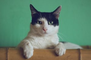 Hipertiroidismo en los gatos: ¿qué es, cuales son los síntomas y cómo se trata?