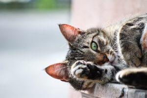 ¿Cómo saber si mi gato tiene pulgas?