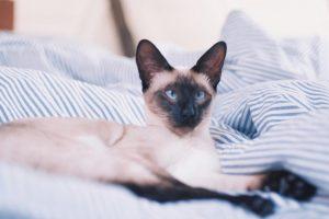 Gatos hipoalergénicos: ¿Existen de verdad?