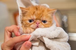 ¿Cómo bañar a un gato adulto?