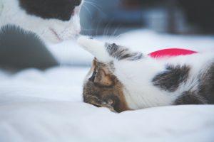 ¿Por qué las gatas cambian de lugar a sus crías?