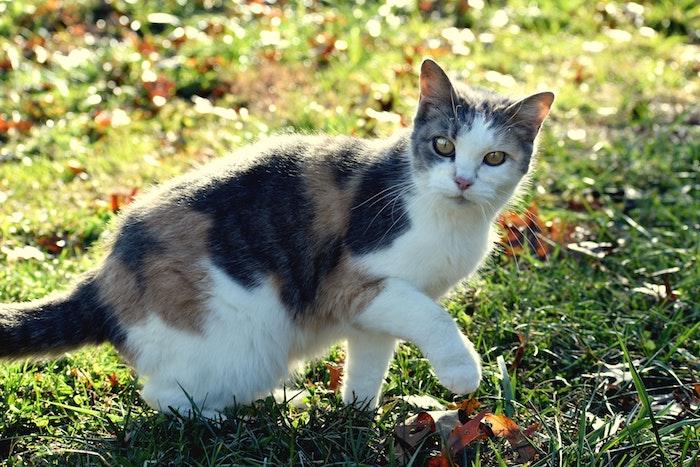 ¿Por qué mi gato cojea?